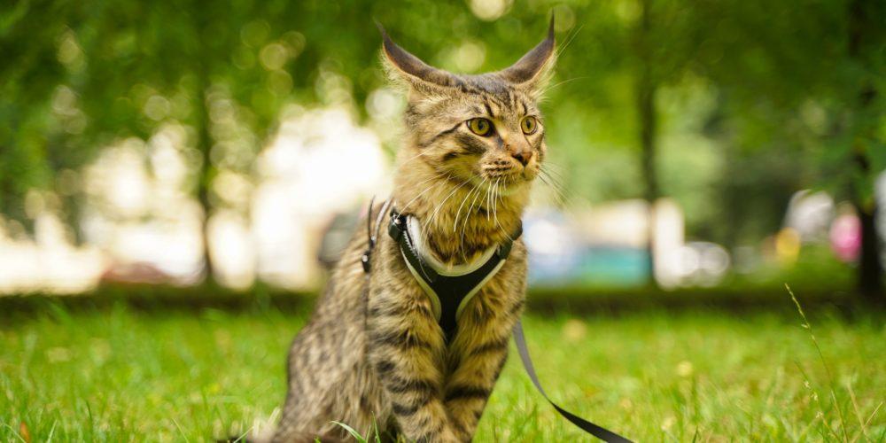 Is it cruel to walk your cat?